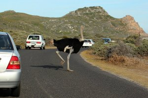 An ostrich on the road near Cape of Good Hope.