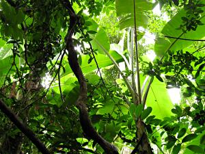 Looking up in a rainforest at Ang Pak Nam, Thailand.