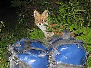 A fox trying to get food from my bicycle panniers in the Apuseni mountains