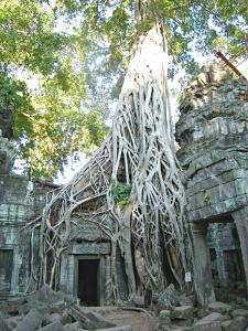 A tree growing atop the ruins at the Ta Prohm temple.