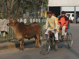 A bicycle rickshaw overtaking a cow, New Delhi, India.