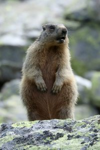 One of the cute marmots we saw on the way.