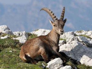 A capricorn in the Julian Alps.