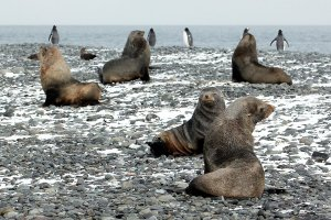 Fur seals and gentoo penguins at Yankee Harbor.