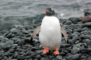 A gentoo penguin has just come up from a swim.