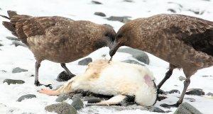 Two skuas having a feast on a dead penguin.