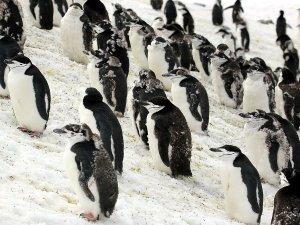 Chinstrap penguins moulting.
