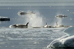 Orcas (killer whales) hunting in the evening.
