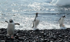 Three gentoo penguins running up to the shore.