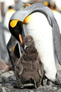 A king penguin mother with her chick.