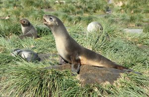Fur seals on the tussock grass.