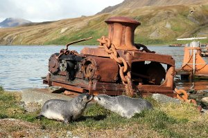 Seals return to where they and whales have been slaughtered before.