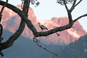 A bird in front of the mountains coloured by the sunset. Photo by Sandra Teräs.