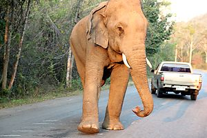 A wild elephant on the road to Palau waterfall, Thailand. Photo by Sandra Wilke.