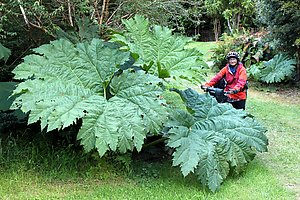 Huge wild rhubarb leaves in the Pumalin Nature Park.